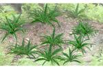 Ferns (12 Pack)